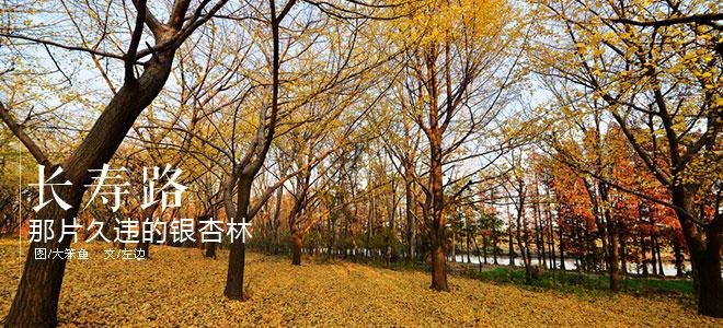 长寿路:那片久违的银杏林