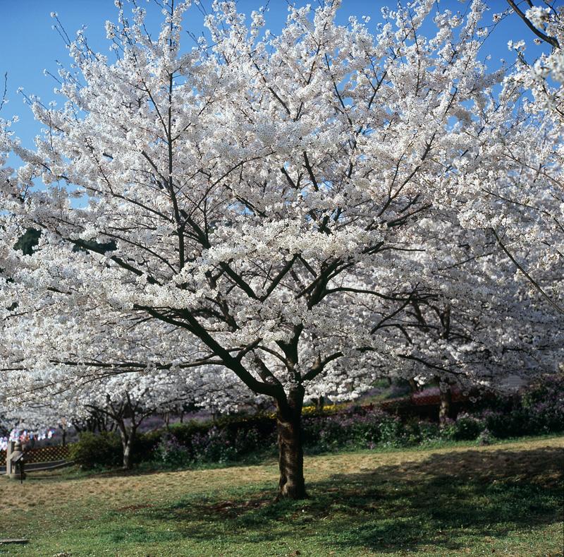 一棵开花的树-3