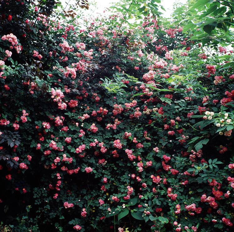 野蔷薇-1-1