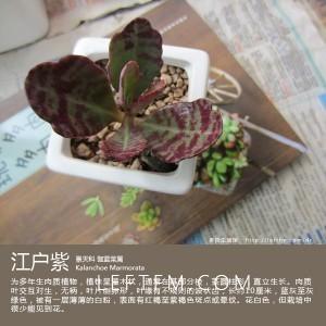多肉生活馆:江户紫