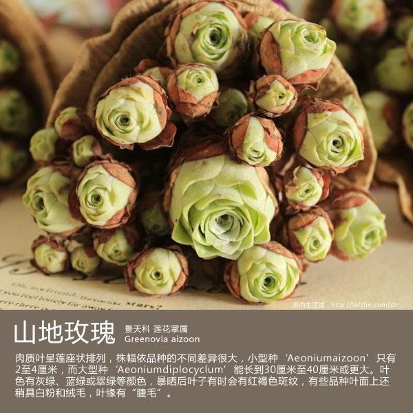 多肉生活馆:山地玫瑰