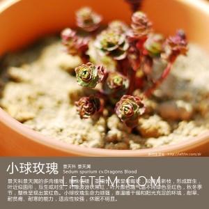 多肉生活馆:小球玫瑰