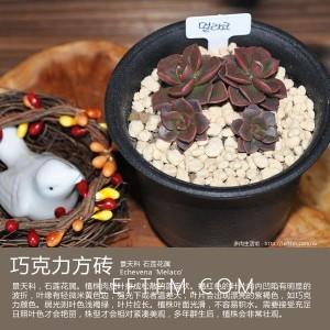 多肉生活馆:巧克力方砖