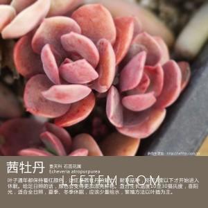 多肉生活馆:茜牡丹