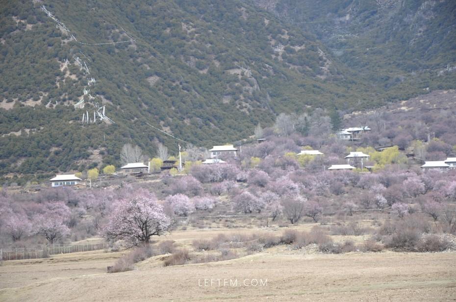 西藏 桃花