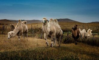 木栏栅里的骆驼