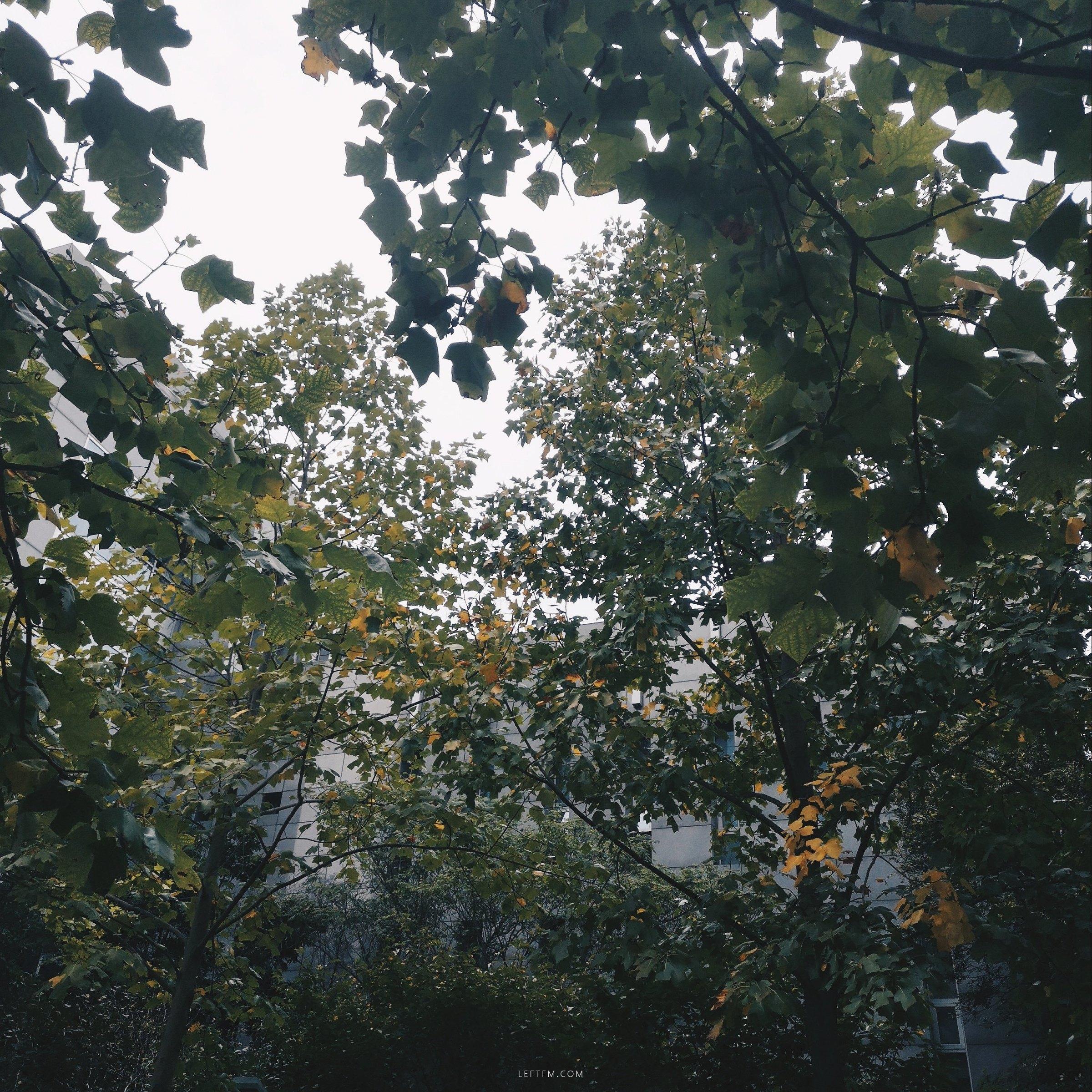 鹅掌楸就是这样的树
